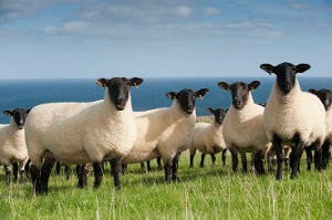 sheep sale Tuesday 6th November @ 7.pm